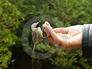 Chickadee On Fingers Stock Photos - Image: 3817623