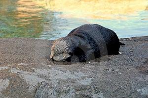 Lontra Molhada Foto de Stock Royalty Free - Imagem: 3843285