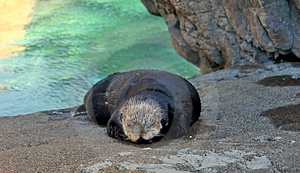 Sleeping Otter Stock Image - Image: 3860431