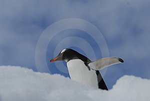 Gentoo Royalty Free Stock Photography - Image: 3881387