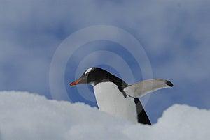 Gentoo Fotografia Royalty Free - Obraz: 3881387