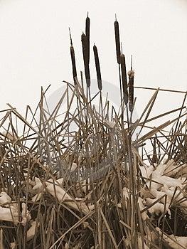 Cat Tails Stock Photos - Image: 3884873