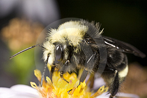 Bumblebee Gathering Pollen Stock Photos - Image: 3892973