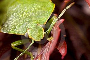 Closeup Of Green Stink Bug Royalty Free Stock Photos - Image: 3893508