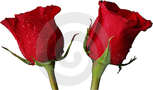 Rose Rosse Isolate Fotografie Stock - Immagine: 3917573