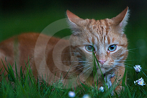 Ginger Cat Hiding In Grass Royalty Free Stock Photo - Image: 3924395