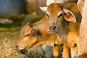 Cows Royalty Free Stock Photography - Image: 3942907