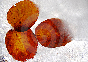 Frozen Leaves Royalty Free Stock Images - Image: 3987859