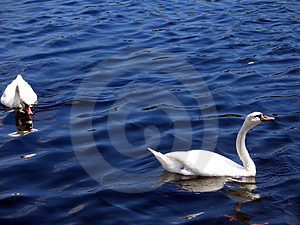 Swans Free Stock Images