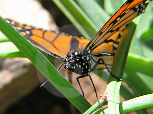 Monarch Royalty Free Stock Photos - Image: 41228