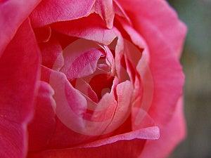 Blooming Rose Royalty Free Stock Photos - Image: 41238