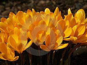 Yellow Crocus #04 Stock Photos