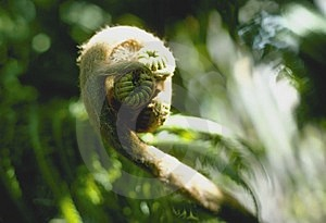 Fiddlehead Free Stock Images