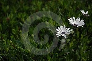 Flor branca escura Imagens de Stock