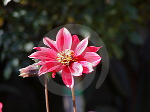 Pink Flower Royalty Free Stock Image - Image: 45876