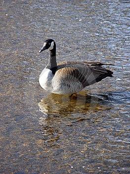 Creek Goose Stock Photo
