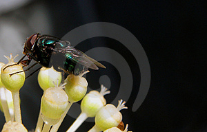 The Fly Royalty Free Stock Photo - Image: 47605