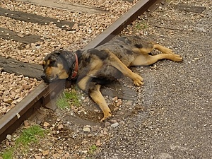 Dog on Tracks Royalty Free Stock Images