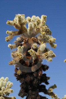 Cactus de Cholla Image libre de droits