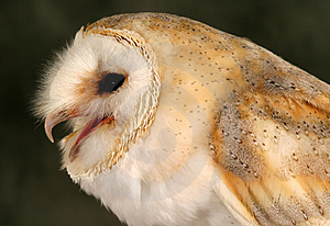 Barn Owl Free Stock Photos