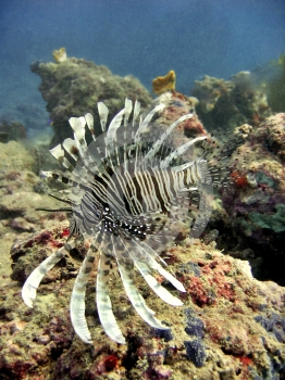 Exotic Lionfish Stock Image - Image: 400411