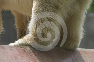 Ice Bear Detail Stock Images - Image: 405834