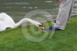 Dangerous Swan Stock Photos - Image: 406313