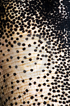 Elephant Skin Stock Photos - Image: 4028673