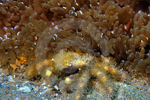 Speck-claw Decorator Crab Royalty Free Stock Image - Image: 4031976
