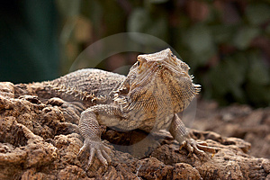 Bosc Monitor Lizard Royalty Free Stock Photos - Image: 4078698