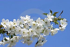 Free Stock Photo - Cherry bloom