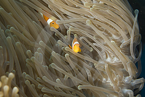 Clown Fish Stock Images - Image: 4122384
