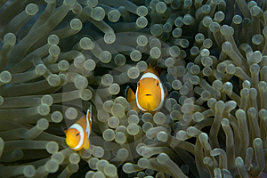 Clown Fish Royalty Free Stock Photo - Image: 4122505