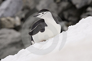 Chinstrap Penguin Antarctica Stock Photos - Image: 4134203