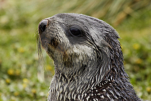 Young Fur Seal Stock Photos - Image: 4141103