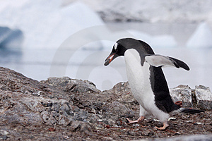 Gentoo Penguin Building Nest Royalty Free Stock Image - Image: 4141336