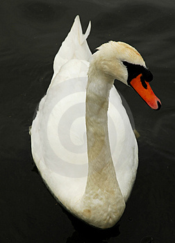 Beautiful Swan Stock Images - Image: 4142124