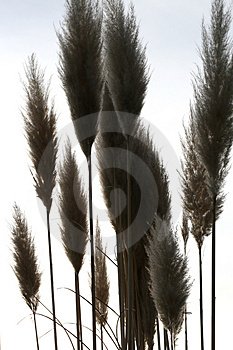 Reed Royalty Free Stock Photography - Image: 4148027