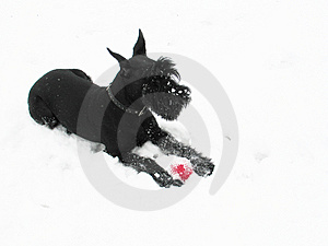Black Riesenschnauzer On Walk Royalty Free Stock Images - Image: 4157399