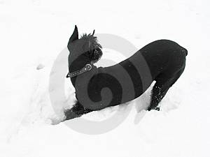 Black Riesenschnauzer Dog Royalty Free Stock Photos - Image: 4160538