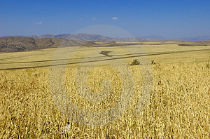 Wheat Royalty Free Stock Images - Image: 4172419