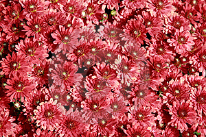 Fall Mums Royalty Free Stock Photos - Image: 4180158