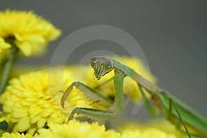 Praying Mantis On Mums Stock Photos - Image: 4184613