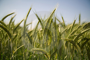 WHEAT Stock Photography - Image: 4186452