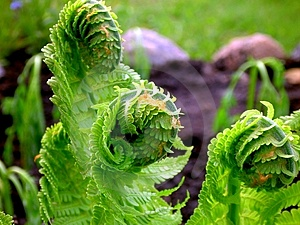 Abstract View Of Ostrich Fern Stock Photography - Image: 4188212