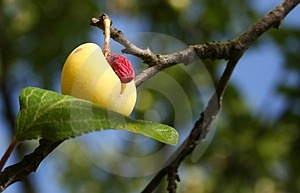 The Ugly Plum Stock Photo - Image: 4188270