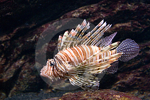 Lion Fish Stock Photo - Image: 4189040