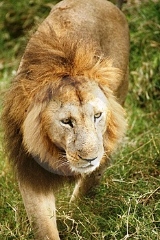 Lion Walking Through The Grass Stock Photo - Image: 4199440