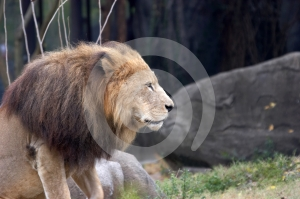 Lion Stock Image - Image: 425321
