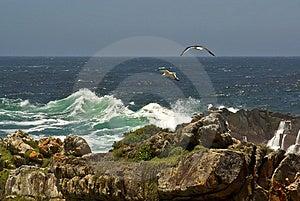 Gulls Soaring In Ocean Cost Stock Photos - Image: 4211083